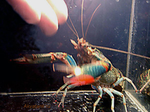 Рак группы Cherax Quadricarinarus Red Claw